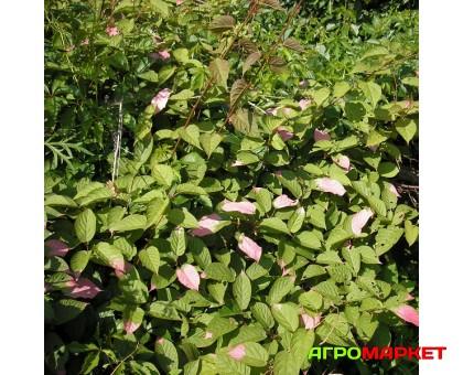 Актинидия коломикта Дальневосточная (мужская)
