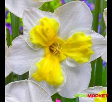 Нарцисс орхидейный Трилуне 12/14, 3шт Darit