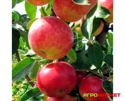 Яблоня колоновидная Джин (ЗКС, С10)