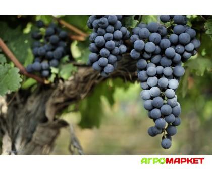 Виноград Ливадийский черный (2года, ЗКС, с8)